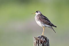 Upland Sandpiper Stock Image