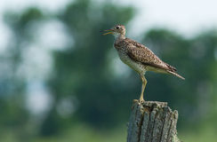 Upland Sandpiper Royalty Free Stock Image
