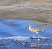 Upland Sandpiper (Bartramia longicauda) Wades in the Ocean Stock Photos
