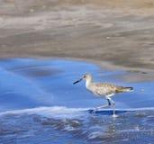 Upland Sandpiper (Bartramia longicauda) Wades in the Ocean Stock Photos