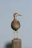 Upland Sandpiper on fence post Royalty Free Stock Image