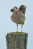 Upland Sandpiper. Perched on a fence post royalty free stock image