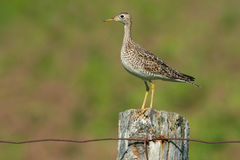 Upland Sandpiper. Perched on a moldy fence post stock image