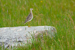 Upland Sandpiper. Perched on a rock in a field stock photography
