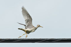 Upland Sandpiper. Running on a hydro wire Royalty Free Stock Photos