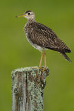 Upland Sandpiper Stock Images
