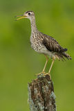 Upland Sandpiper. Standing on an old, moldy fence post royalty free stock images