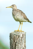 Upland Sandpiper. Standing on an old, rotting fence post stock photo