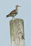 Upland Sandpiper. On a utility pole stock photography