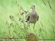 Upland sandpiper Royalty Free Stock Photos