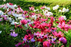 Uplifting colorful Cosmos flowers under the cheerful sunlight. Popular decorative plant for landscaping of public and private recr. Eation areas.Eastern Europe royalty free stock photos