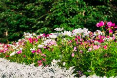 Uplifting colorful Cosmos flowers under the cheerful sunlight. Popular decorative plant for landscaping of public and private recr. Eation areas.Eastern Europe stock photo