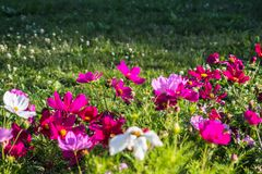 Uplifting colorful Cosmos flowers under the cheerful sunlight. Popular decorative plant for landscaping of public and private recr. Eation areas.Eastern Europe royalty free stock images