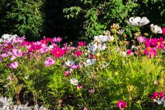 Uplifting colorful Cosmos flowers under the cheerful sunlight. Popular decorative plant for landscaping of public and private recr. Eation areas.Eastern Europe stock photography