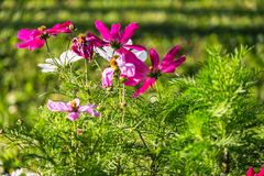 Uplifting colorful Cosmos flowers under the cheerful sunlight. Popular decorative plant for landscaping of public and private recr. Eation areas.Eastern Europe royalty free stock photo