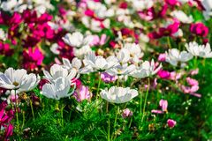 Uplifting colorful Cosmos flowers under the cheerful sunlight. Popular decorative plant for landscaping of public and private recr. Eation areas.Eastern Europe stock images