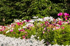 Uplifting colorful Cosmos flowers under the cheerful sunlight. Popular decorative plant for landscaping of public and private recr. Eation areas.Eastern Europe royalty free stock image