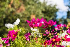 Uplifting colorful Cosmos flowers under the cheerful sunlight. Popular decorative plant for landscaping of public and private recr. Eation areas.Eastern Europe stock image