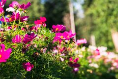 Uplifting colorful Cosmos flowers under the cheerful sunlight. Popular decorative plant for landscaping of public and private recr. Eation areas.Eastern Europe royalty free stock photography