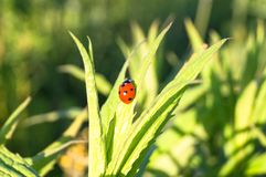 Uplifting piece of summer countryside. A Ladybug on a green stem under sunlight. Eastern Europe royalty free stock photo