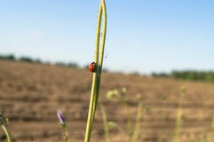 Uplifting piece of summer countryside. A Ladybug on a green stem under sunlight. Eastern Europe royalty free stock photos