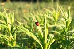 Uplifting piece of summer countryside. A Ladybug on a green stem under sunlight. Eastern Europe stock image