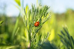 Uplifting piece of summer countryside. A Ladybug on a green stem under sunlight. Eastern Europe royalty free stock images