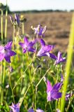 Uplifting piece of summer countryside. Modest flowers of a spreading bellflower Campanula patula under sunlight. Eastern Europe stock image