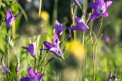 Uplifting piece of summer countryside. Modest flowers of a spreading bellflower Campanula patula under sunlight. Eastern Europe royalty free stock photography