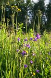 Uplifting piece of summer countryside. Modest flowers of a spreading bellflower Campanula patula under sunlight. Eastern Europe stock photos
