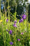 Uplifting piece of summer countryside. Modest flowers of a spreading bellflower Campanula patula under sunlight. Eastern Europe royalty free stock photos