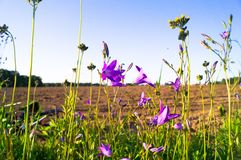Uplifting piece of summer countryside. Modest flowers of a spreading bellflower Campanula patula under sunlight. Eastern Europe stock images