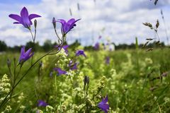 Uplifting piece of summer countryside. Modest flowers of a spreading bellflower Campanula patula under sunlight. Eastern Europe stock photo