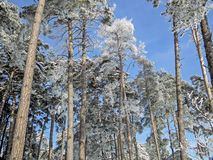 Uplifting pine trees to the sky. Tall pine trees full of frost in winter uplifting to blue skies Stock Photo