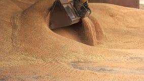 Uploading kukurudza w łopaty wiadrze zbiory