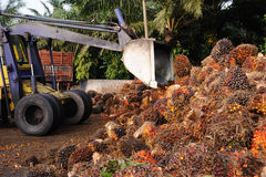 Uploading Palm Oil fruits Stock Photos