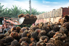 Uploading Palm Oil fruits Stock Photography