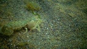 Upogebia pusilla della scogliera del mare - specie di crostacei del kalianasov di superfamiglia stock footage