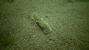 Upogebia pusilla della scogliera del mare - specie di crostacei del kalianasov di superfamiglia video d archivio
