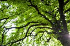 Uppåtriktad sikt av ett kastanjebrunt träd i vår med ny ny gräsplan le Royaltyfri Fotografi
