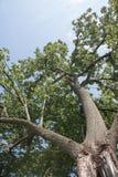 Uppåtriktad sikt av ett träd Arkivfoto
