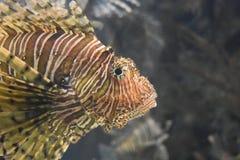 Upp djup syn på framsidan av en randiga Turkeyfish Arkivbild