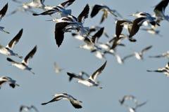 Upp & nära flyga för Avocets Arkivfoton