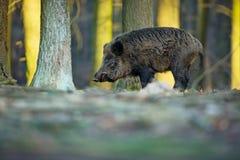 Upp scrofaen Den lösa naturen av Tjeckien fri natur Bild av ett djur i natur härlig bild Djur i th arkivfoto