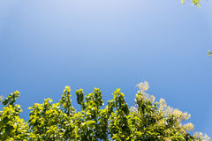 Upp sikt på träd och moln på blå himmel Arkivbilder