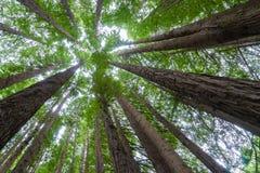 Upp-trädet sköt av den kaliforniska redwoodträdskogen i Victoria, Australien Arkivbild