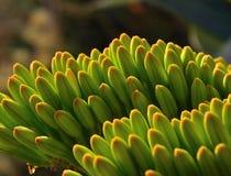 Uppdykande gröna knoppar av agaveblomman Arkivfoton