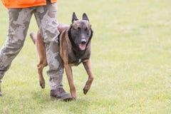 Uppehälle för Belgien herdehund i Belgien fotografering för bildbyråer