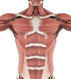 Upper Anterior Muscles Anatomy. Isolated on white background. 3D render stock illustration