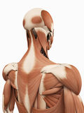 The upper back muscles royalty free illustration